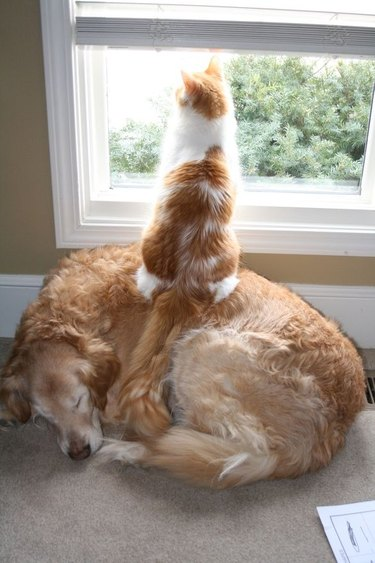 Cat sitting on top of a dog to look out window