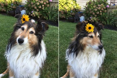Collie wearing a flower behind its ear.