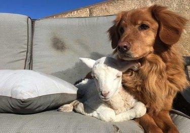 Lamb and dog cuddling
