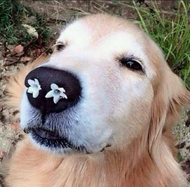 Dog with flowers in its nostrils.