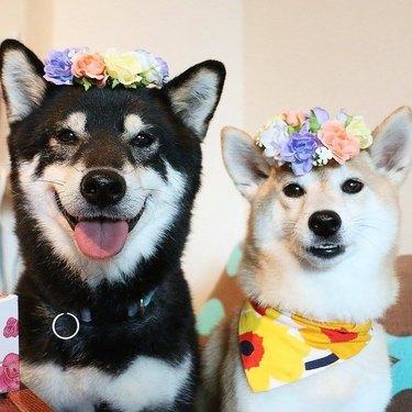 Dogs wearing flower crowns