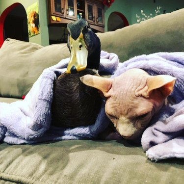 Sphynx cat with adult duck