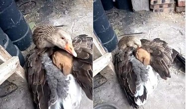 Goose wrapping its wings around puppy