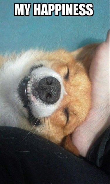 Happy, smiling corgi