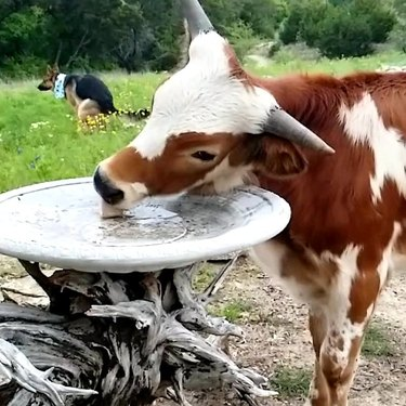 Cow drinking out of a bird bath while dog in background poops.