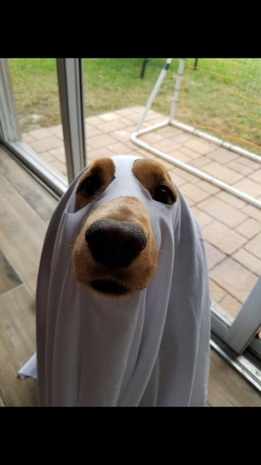 Dog wearing ghost costume