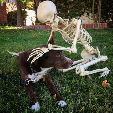 Dog with Halloween skeleton