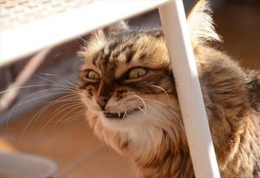 Cat with a very sinister look on his face