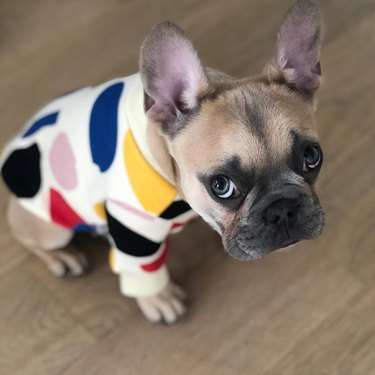 French bulldog looking apologetic