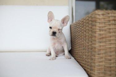 French bulldog puppy winking