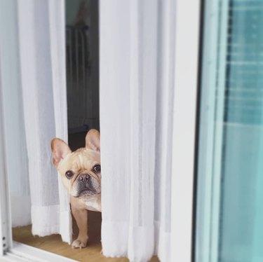French bulldog looking around a corner