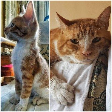 orange tabby cat named Kalbaz