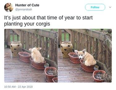 Corgi sitting in flower pot.