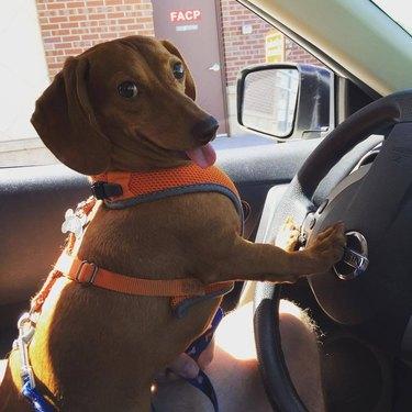 Dog leaning on car horn.