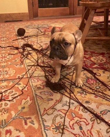 French bulldog tangled in yarn