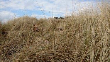 dog hides in beach grass