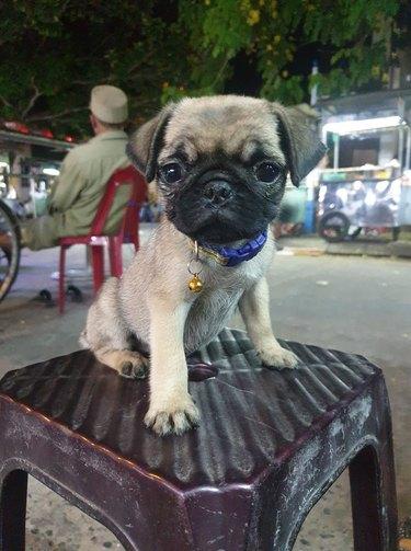 pug dog named Nor