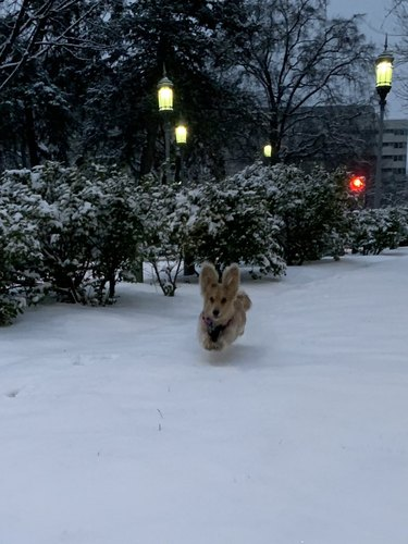 dachshund dog dashes through snow