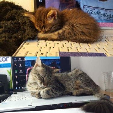 tabby cats nap on open laptop