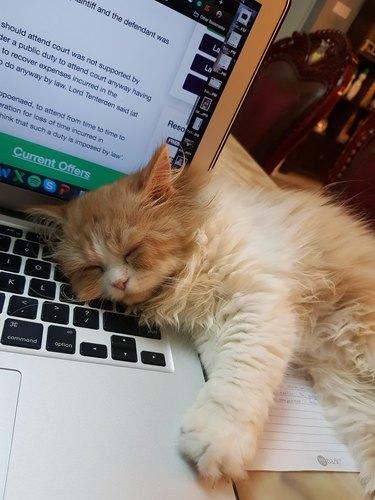 cat dozes on open laptop
