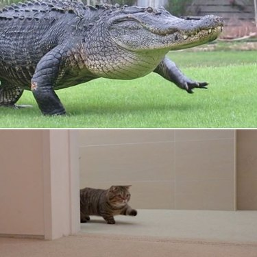 cat and alligator share same aura