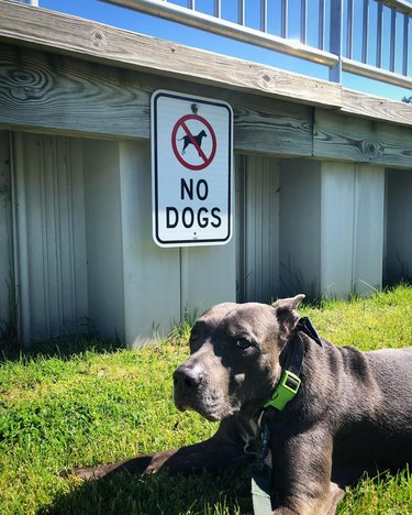 unimpressed doggo poses in front of no dogs allowed sign