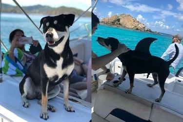 dog in shark fin floatie