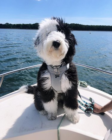 sheepadoodle dog on first boat ride