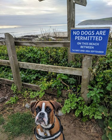 boxer dog stands in front of no dogs allowed on beach sign