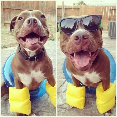 Dog wearing sunglasses and pool floaties.