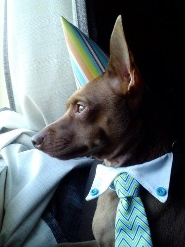 Dog wearing nice tie