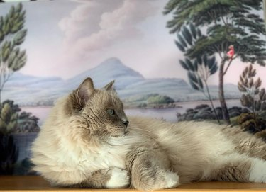 Ragdoll cat posing in front of a painting