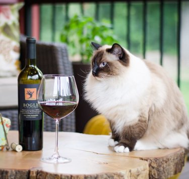 Ragdoll cat with a glass of red wine