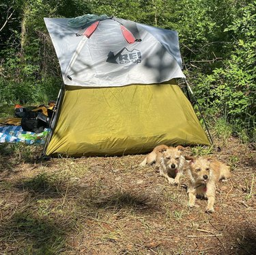 two dogs outside a tent