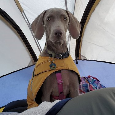 dog inside a tent
