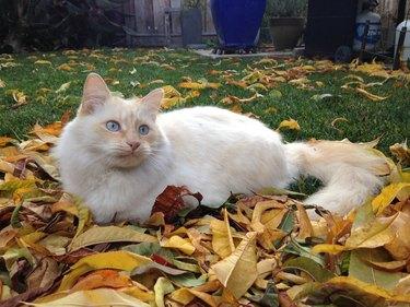 Ragdoll cat in autumn leaves