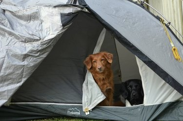 two dogs inside a tent