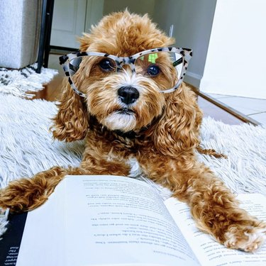 cavapoo with glasses reading