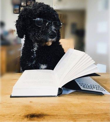 dog reading a novel