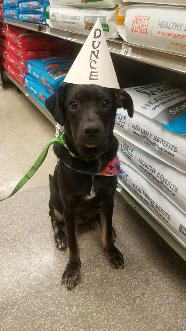Puppy in dunce cap graduates from dog training school