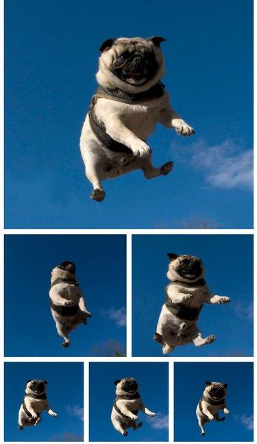 Pug jumping on trampoline