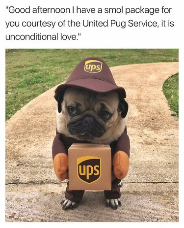 Pug in a UPS delivery driver costume.