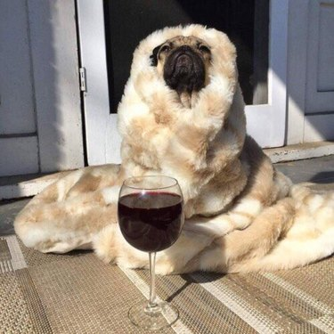 Pug with a blanket and glass of wine.