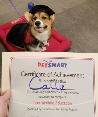 corgi receives certificate of achievement