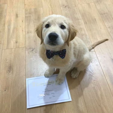 Golden lab poses for picture with diploma from puppy school