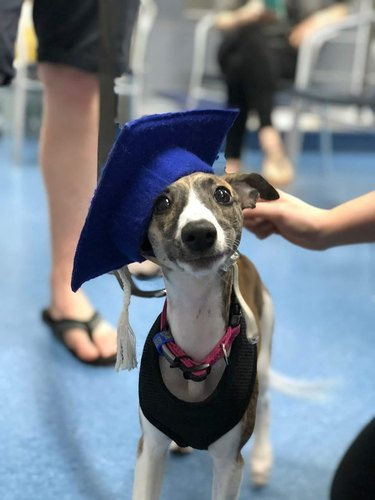 Whippet dog proudly rocks graduation cap