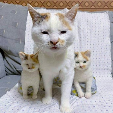 white cat with white kittens