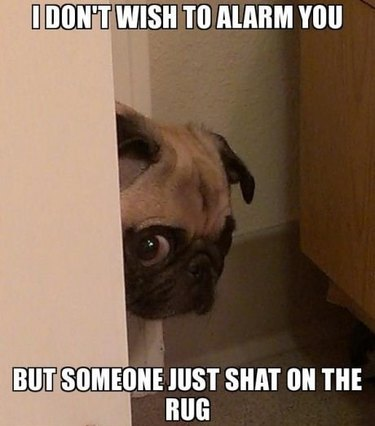 Nervous looking pug peeking head around corner.