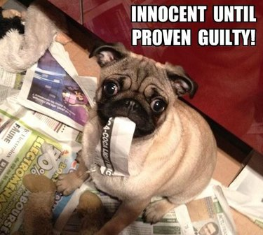 Guilty looking pug eating strip of newspaper.