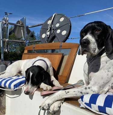 two pointer dogs inside sailboat